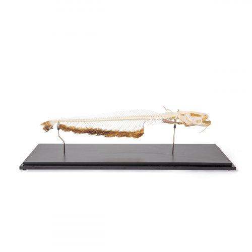 Keříčkovec jihoafrický - Clarias lazera - kostra