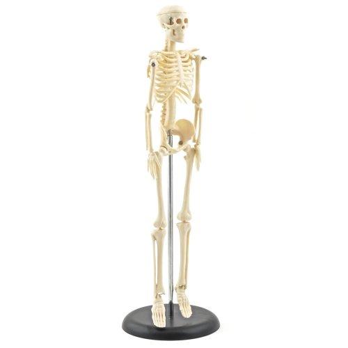 Mini model lidské kostry 42 cm - DOPRODEJ
