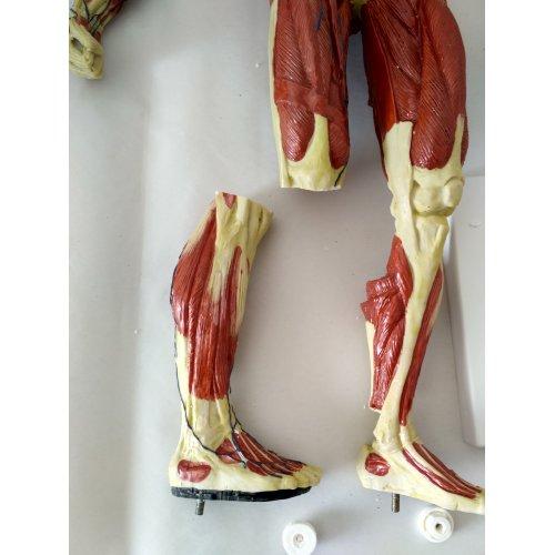 Model lidského svalstva - 1/3 životní velikosti - SLEVA