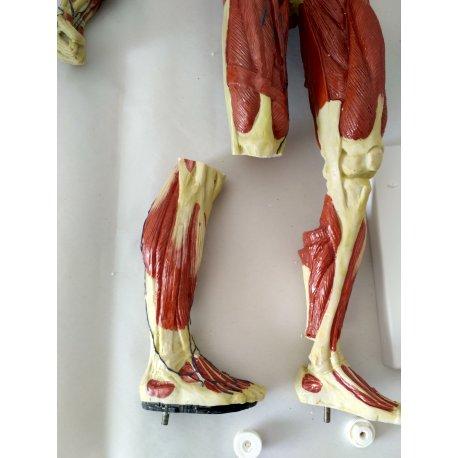 Model lidského svalstva - 1/3 životní velikosti