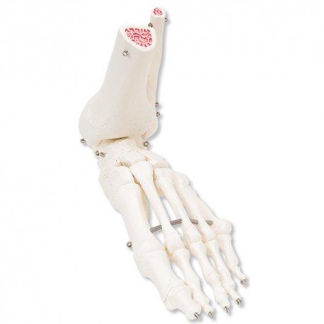 Kostra nohy s částmi kosti holení a lýtkové spojena drátem - L