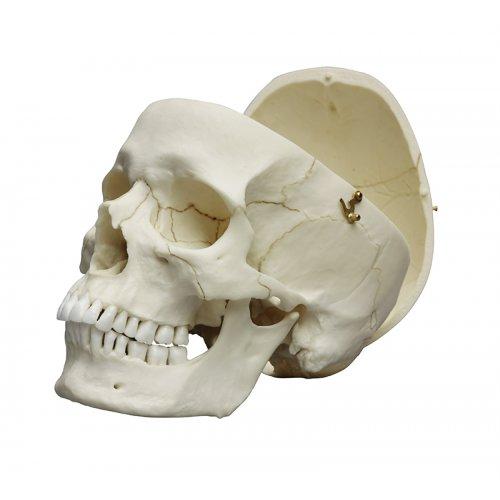 Model lebky dospělého člověka
