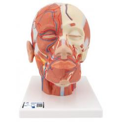 Model lidské hlavy se svaly a cévami
