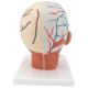 Model lidské hlavy - zezadu