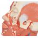 Model lidské hlavy se svaly a cévami - detail
