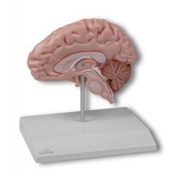 Model poloviny lidského mozku - životní velikost