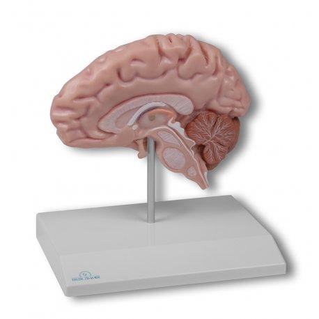 Model poloviny lidského mozku