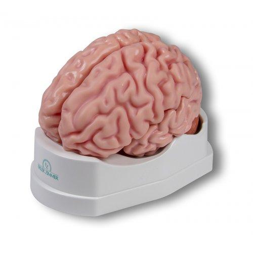 Model lidského mozku - 5 částí - životní velikost