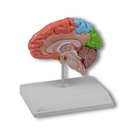 Model poloviny lidského mozku - oblastní