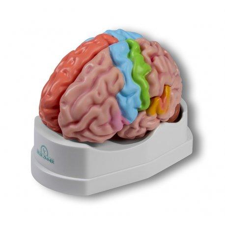 Model lidského mozku - oblastní
