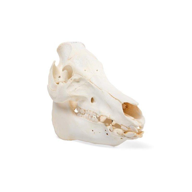 Prase divoké - Sus scrofa - lebka samce/samice