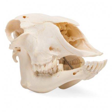 Ovce domácí - Ovis aries - lebka samce/samice