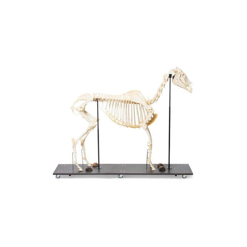 Kůň domácí - Equus caballus - kostra samce/samice