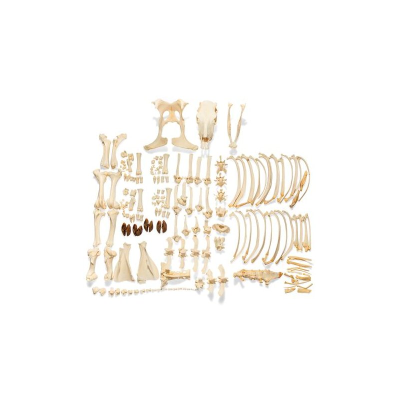 Tur domácí - Bos taurus - rozložená kostra