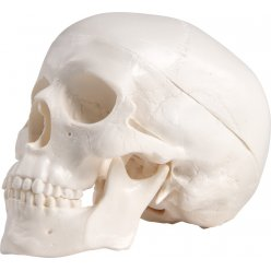 Mini model lidské lebky - 3 části