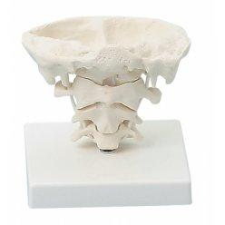 Model kloubů hlavy v životní velikosti