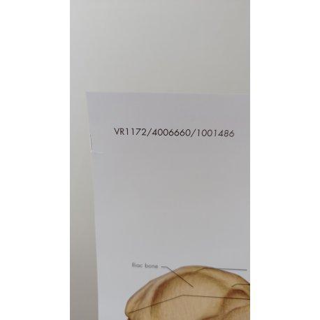 Schéma - lidská pánev a kyčel - AJ - 50x67 cm