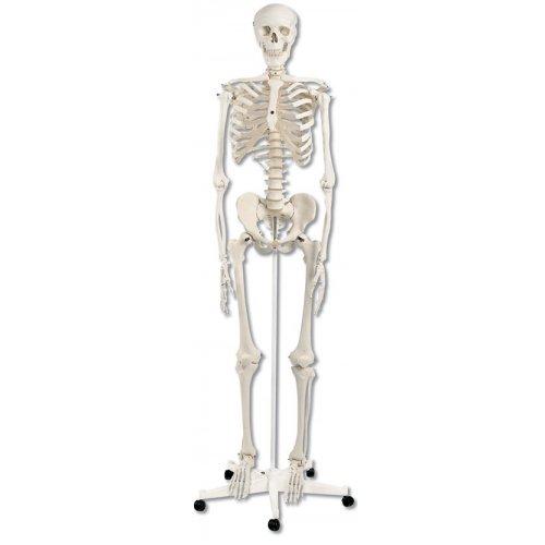 Model lidské kostry standardní - na pojízdném stojanu