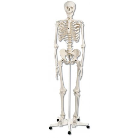 Model kostry standartní - na pojízdném stojanu