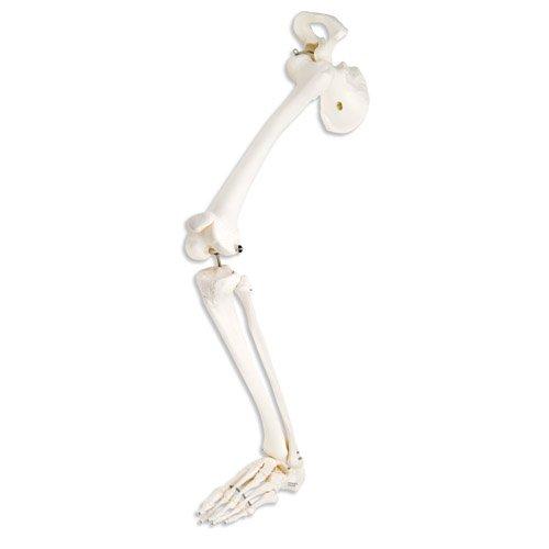 Model kostry lidské dolní končetiny a kyčelní kosti
