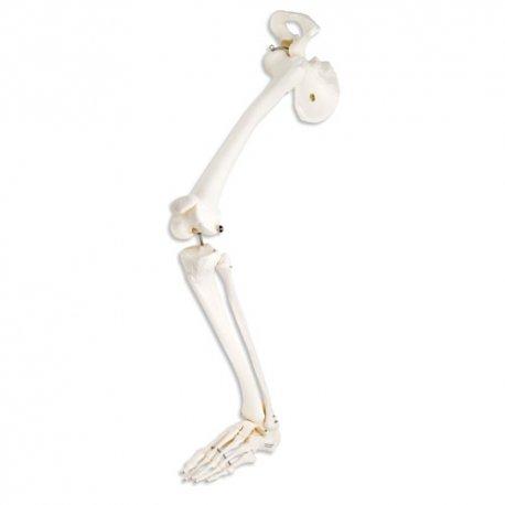 Kostra dolní končetiny s kyčelní kostí - levá