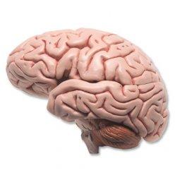 Model lidského mozku - 5 částí