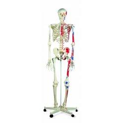 Model lidské kostry s malovanými svaly - na pojízdném stojanu