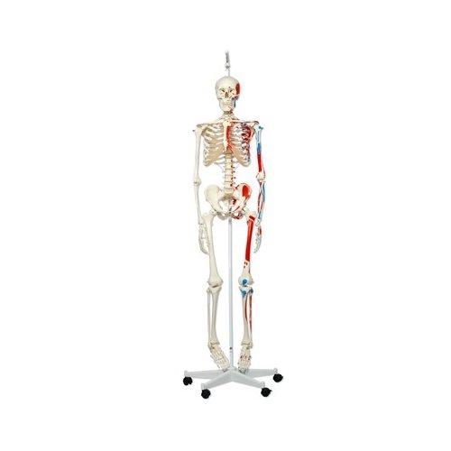 Model lidské kostry s malovanými svaly - na závěsném stojanu