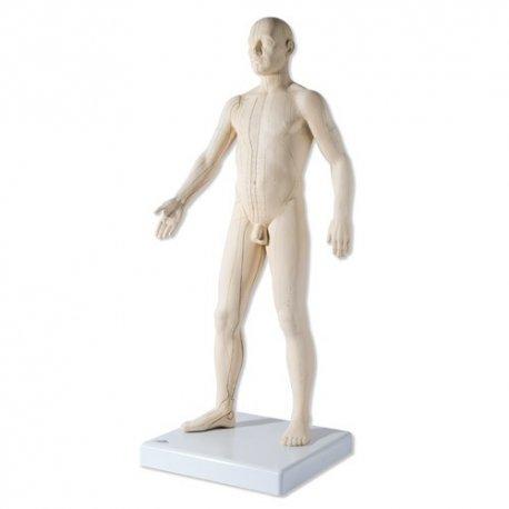 Model člověka s akupunkturními body