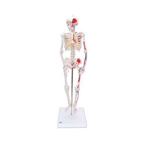 Mini model lidské kostry - s malovanými svaly - na podstavci
