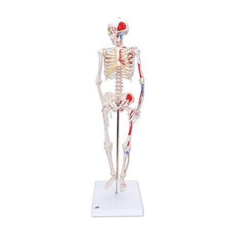 Mini model lidské kostry - s malovanými svaly - na stojanu