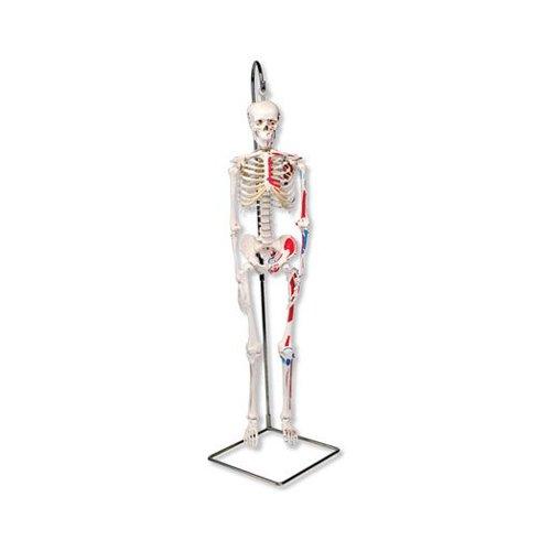 Mini model lidské kostry - s malovanými svaly - na závěsném stojanu