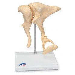 Model lidských sluchových kůstek - 20x zvětšený