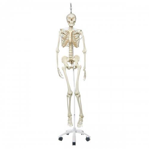 Model lidské kostry - funkční - na závěsném stojanu