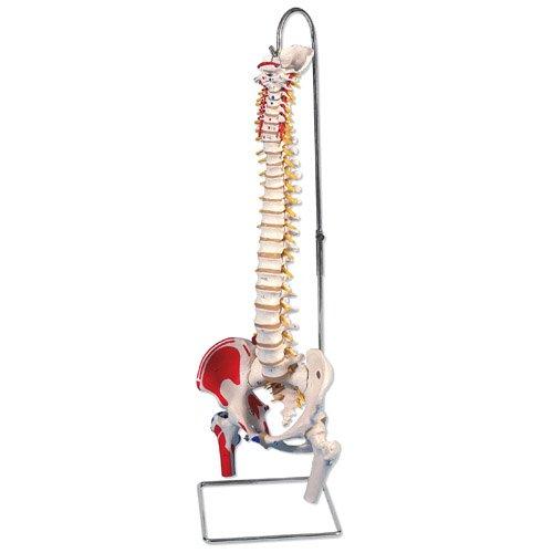 Model lidské páteře s hlavičkami stehenních kostí a malovanými svaly