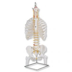 Model lidské páteře s hlavičkami stehenních kostí a žebry