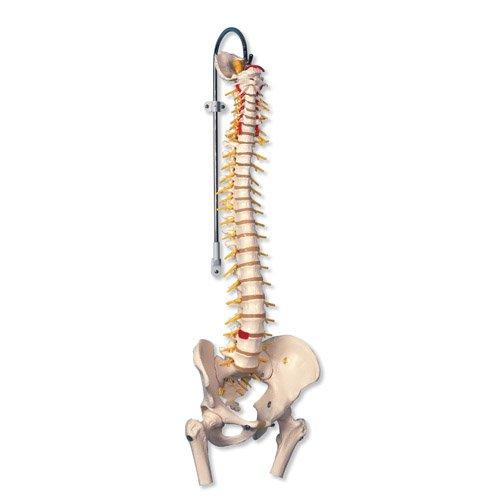 Model lidské páteře s hlavičkami stehenních kostí - luxusní
