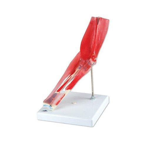Model lidského loketního kloubu s odnímatelnými svaly - 8 částí
