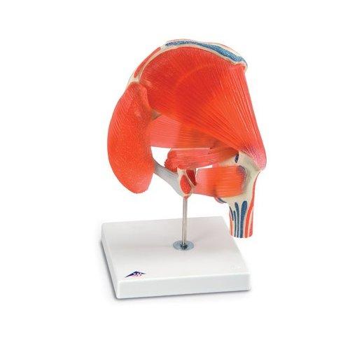 Model lidského kyčelního kloubu se svaly - 7 častí