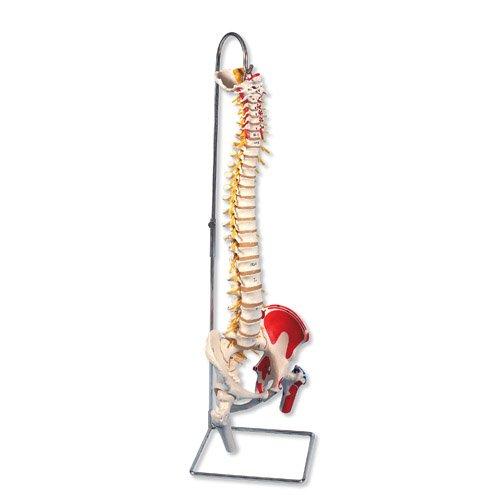 Model lidské páteře s hlavičkami stehenních kostí a malovanými svaly - luxusní