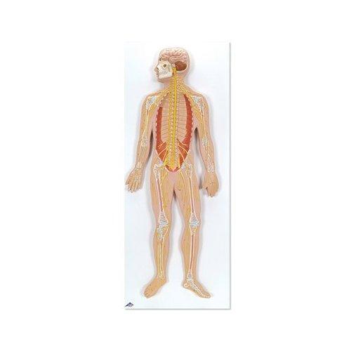 Model lidského nervového systému